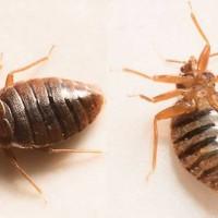 Bedbugs Control Brisbane