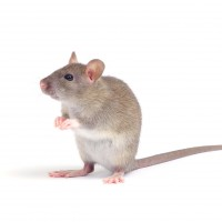 Rodent Pest Control