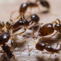 Ants Extermination Brisbane