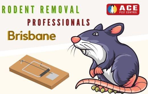 Rodent Removal Brisbane