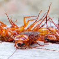 Best Cockroach Control Brisbane