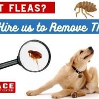 Flea Treatment Brisbane