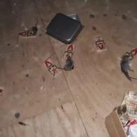 Davenport Rat Removal